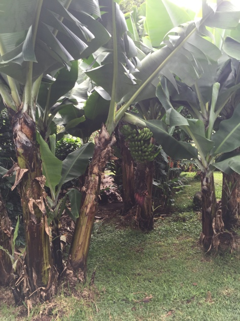 Banana trees to distract insects from eating the coffee beans