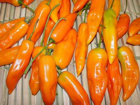 Aji Amarillo, chili pepper